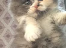 قطة شيرازية بيور اصلية