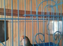 طائر فيشر (أنثى)
