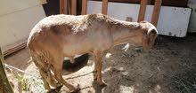 خروف نجدي سوداني للبيع