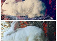 ارانب هولندي اللوان جميله وأحجام طيبه ما شاء الله