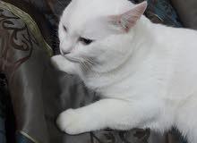 قط أمريكي صافي