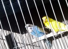 عصافير حب
