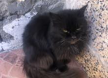 قطط الانثي