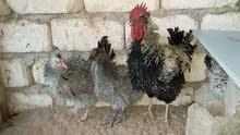 ثلاثة دجاجات كيرلي وفروج للبيع
