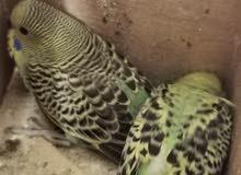 طيور الحب (البادجي)