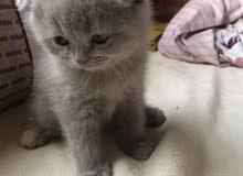 قطط سكوتش فولد للجادين فقط