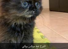 قطه ميكس بيكي