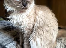 قطة هيمالايا