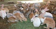 مطلوب خبير بتربية الأرانب