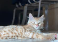 shirazi Persian male cat for mating only