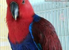 أنثي أكليكتوس Eclectus parrot