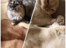 قططتين للبيع شيرازي حلوين و لعوبين ذكر و أنثى