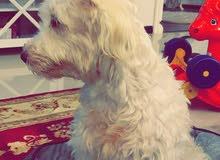 كلب مالتيز بودل