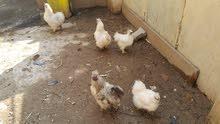 دجاج سلكي (قطني) للبيع