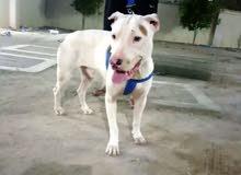 كلب ارجنتينو الليف