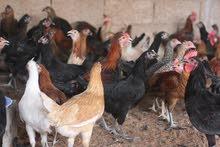 بيض دجاج بلدي مخصب