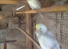 اناث طيور حب