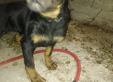 كلب  روت وايلر ألماني