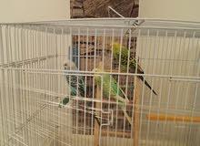 طيور عشق بادجي ذكر و انثى مع القفص و اكل