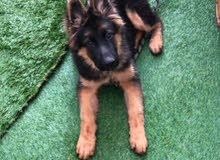 Pure German Shepherd Showline king size Puppy