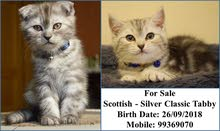 Scottish Silver Classic Tabby for Sale