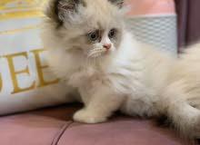 قط هملايا راغدول