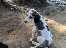كلب سلق سوري اصل