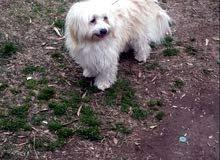 كلب تيرير الفرنسي انثى بعمر 9 شهور