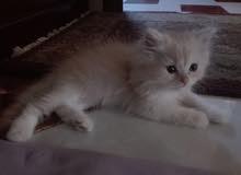 قطط شيرازى للبيع