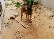كلب مينوا للبيع