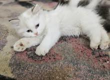 قطه راغدول للبيع