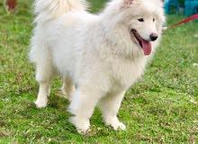 كلب سامويد روسي مع الجواز للبيع