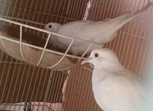 زوج عفاد للبيع او البدل بطيور زينه