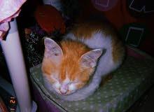 قطه شرازي لونين