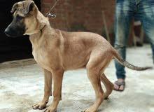 كلب جريدان على ولف ذكر عمره ستة اشهر نظيف  سريع  و بصحة جيدة ليس عنده أى مرض