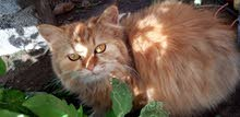 قطه انثئ شرازي