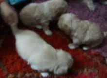 كلاب تيرر فرنسي