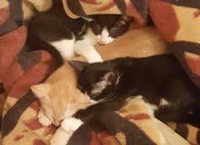 3 قطط منزلية للتبني