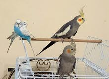 Male and female cocktail pair with cage  زوج كوكتيل ذكر وانثى مع القفص