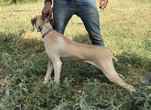 كلب مصيد