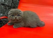قطط سكوتش فولد بلو مستويات خارقة إنتاج اوكرانيا