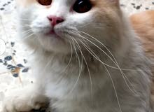 قط فارسي عمره سنه السعر 150