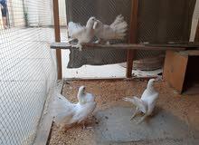 طيور للبيع مثل ما واضح بالصورالعرايس الزوج 25 والستالايت الزوج 50