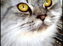 Persian Female cat pure breed