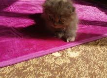 Scottish fold kitten سكوتش فولد كيتن