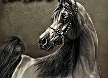 مزاد الأصيل للخيول لبيع وشراء الخيل