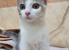 persian calico cat.