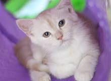 Kitten Scottish Straight Mix Kitten