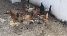 دجاج بلدي للبيع العدد 11