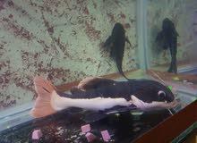 سمك الردتال حجم كبير مع زبال للبيع بي سعر مغري